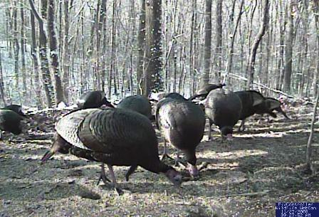 Gobblers eating their Thanksgiving meal.  This really was taken on Thanksgiving morning!